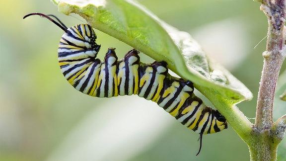 Raupe eines Monarchschmetterling