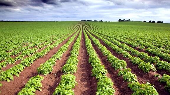 Ein Kartoffelfeld