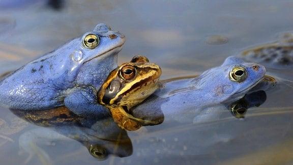 Zwei Männchen in Balzfärbung und ein Weibchen umklammern sich während der Paarung an der Oberfläche eines Teiches.