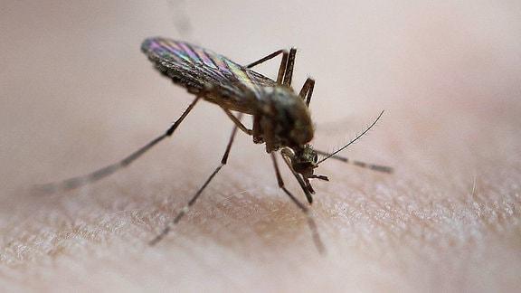 Eine Mücke sticht