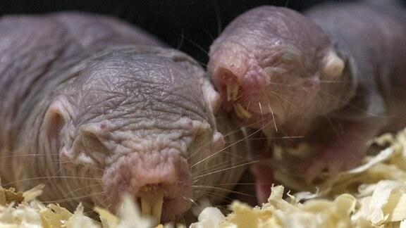 Großes und kleines Nacktmull: Kleine schrumpelige Nagetiere ohne Fell auf Sägespänen
