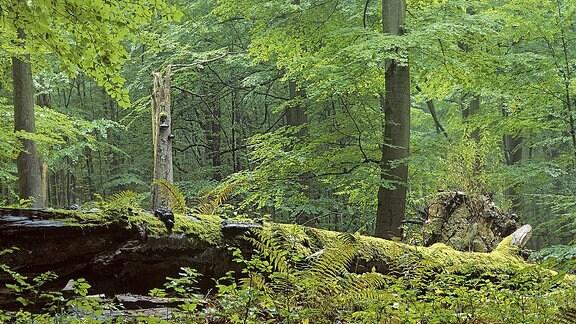 Nationalpark Hainich Bäume.