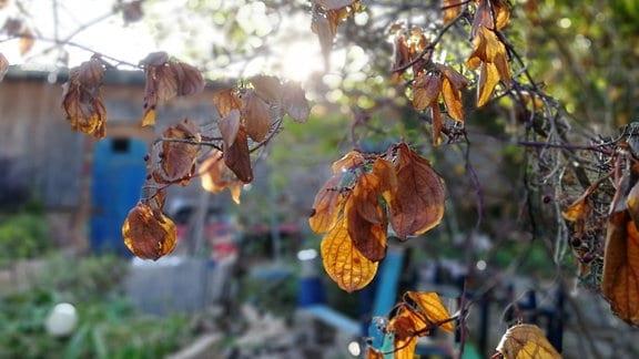 Vereinzelte vertrocknete Blätter hängen im Frühherbst an einem Baum.