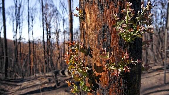 Neue Triebe an einem verbrannten Eukalyptus-Baum.