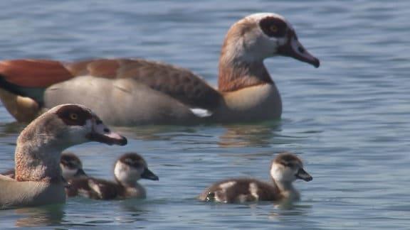 Enten schwimmen auf dem Wasser