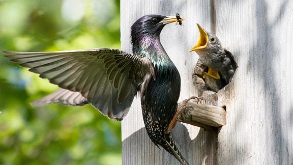 Ein Vogel füttert sein Junges am Nistkasten