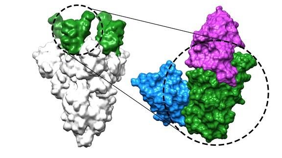 Zwei der neuentwickelten Nanobodies (blau und magenta) binden an die Rezeptor-Bindedomäne (grün) des Coronavirus-Spike-Proteins (grau) und verhindern dadurch die Infektion mit Sars-CoV-2 und dessen Varianten