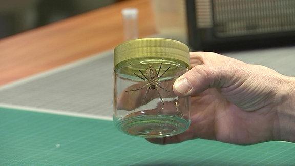 Eine Nosferatu-Spinne in einem Glas.