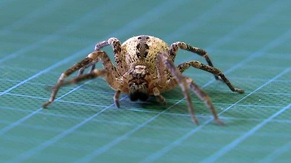 Eine Nosferatu-Spinne.