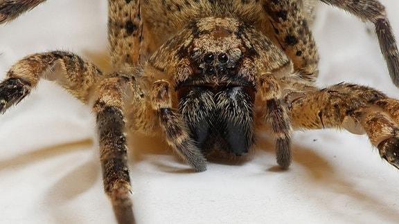 Eine gelbschwarze Spinne