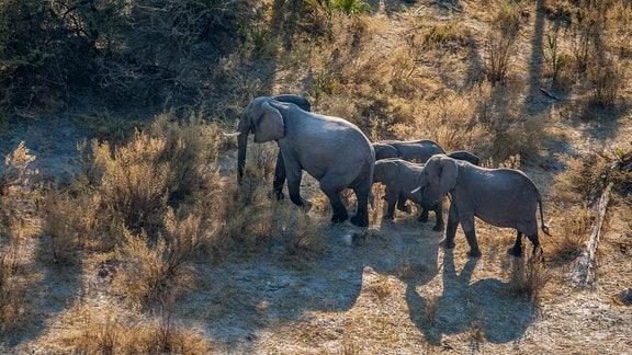 Luftaufnahme eines großen und mehrerer kleinerer Elefanten in einer Graslandschaft