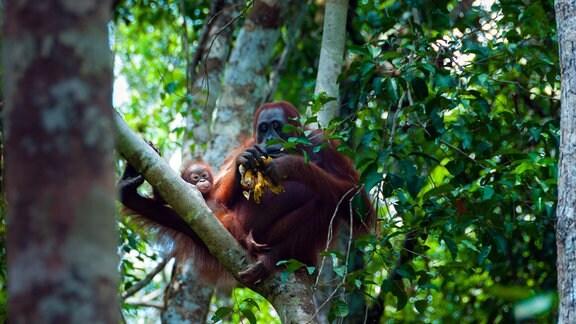 Utan Weibchen mit ihrem Jungen im indonesischen Dschungel