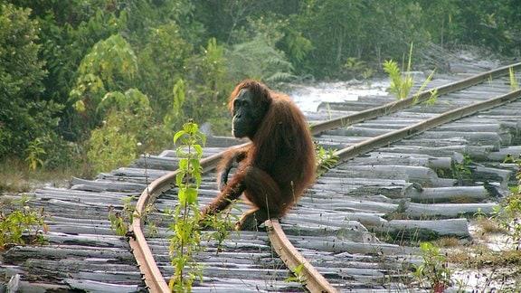 Ein Orang-Utan sitzt auf einer Eisenbahnschiene