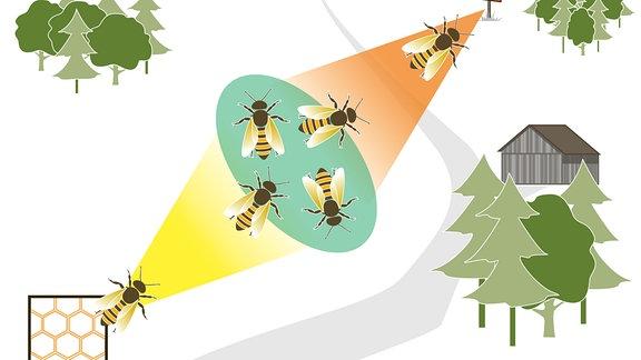 Das Bild zeigt die Orientierung der Bienen auf dem Weg zwischen Bienenstock (links unten) und dem Futterplatz (rechts oben). Eine Biene befindet sich auf einem gelben Strahl vom Bienenstock weg, vier Bienen, in unterschiedliche Richtungen orientierend auf einem grünen Oval in der Mitte. Eine sechste Biene fliegt auf einem roten Strahl direkt auf das Ziel zu. Alle drei Farbbereiche sind miteinander verbunden.