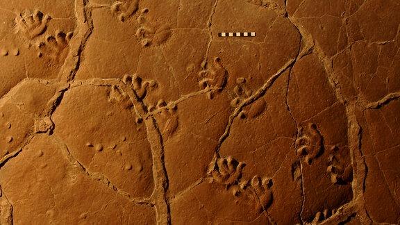Funde von Spuren des Orobates von vor etwa 300 Millionen Jahren  - 65 Millionen Jahre vor der Dinosaurierzeit