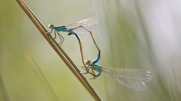 Große Pechlibellen bei der Paarung