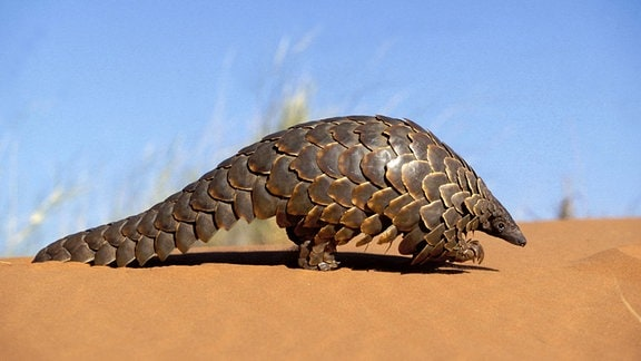 Ein Pangolin auf einer Sanddüne.