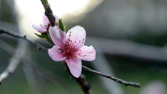 Blüte an einem Pfirsichbaum