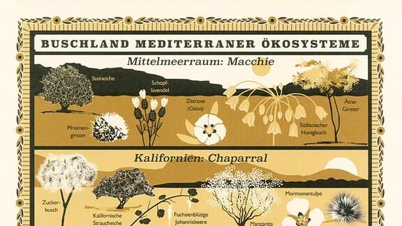 """Illustration in gedeckten Farben mit ästhetischen Zeichnungen: Gezeigt werden verschiedene mediterrane Ökosysteme mit dem Titel """"Buschland mediterraner Ökosysteme"""". Gezeigt werden folgende Systeme: """"Mittelmeeraum: Macchie"""", """"Kalifornien: Chaparral"""", """"Südafrika: Fynbos"""", """"Chile: Matorral"""", """"Südwestaustralien: Kwongan"""""""