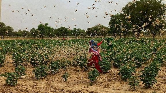 Über ein Feld in Indien fliegt ein Schwarm Heuschrecken.