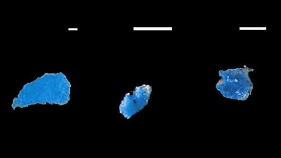 Plastikteile gefunden im Magen einer Stachelmakrele
