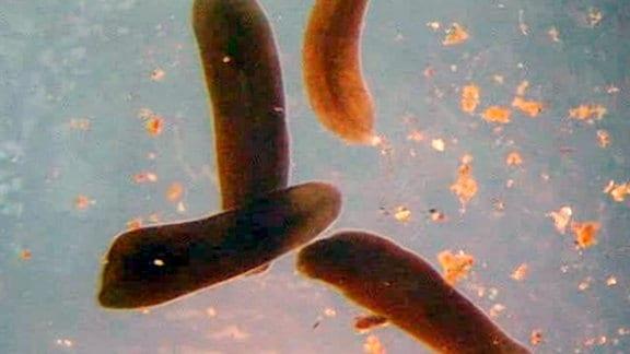 Plattwürmer -- mehrere rot-bräunliche Würstchen, die im Wasser schwimmen und beim Bewegen wabern