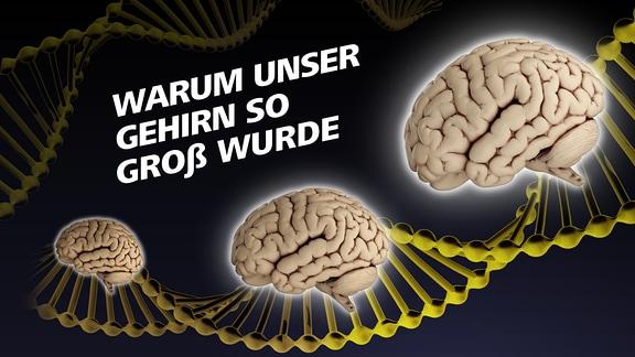 """Covergrafik der Podcastepisode """"Warum unser Gehirn so groß wurde"""" - zu sehen sind Gehirne und DNS-Stränge."""
