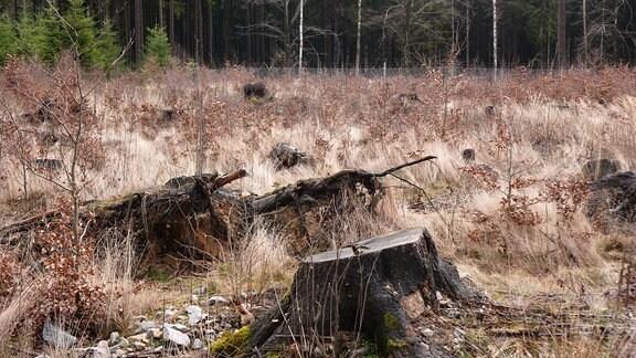 Eine Waldlücke im Tharandter Wald. Vorne sieht man die Baumstümpfe alter Fichten, dazwischen wachsen junge, kleine Laubbäume nach