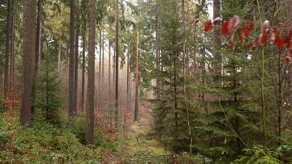 Das Bild zeigt einen Fichtenwald an einer lichten Stelle. Man sieht viele alte Fichten aber auch junge Bäumer, darunter Weißtannen und auch Laubbäume.