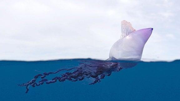 Die portugiseische Galeere, ist eine giftige Seeblasen-Art, mit einem auf der Meeresoberfläche treibenden Segel.