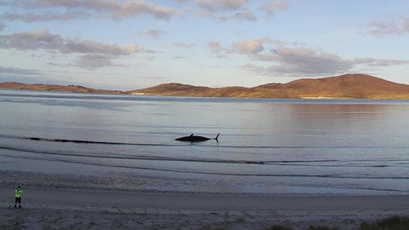 In etwas Entfernung liegt ein toter Pottwal in seichtem Wasser vor einem Strand.