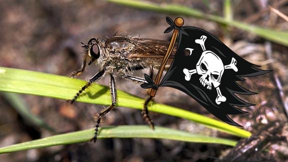 Raubfliege mit Piratenflagge