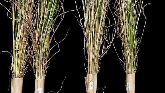 Reispflanze astol1
