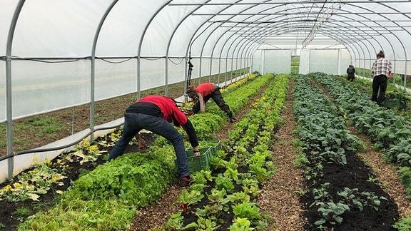 Gemüsepflanzen unter Foliendach