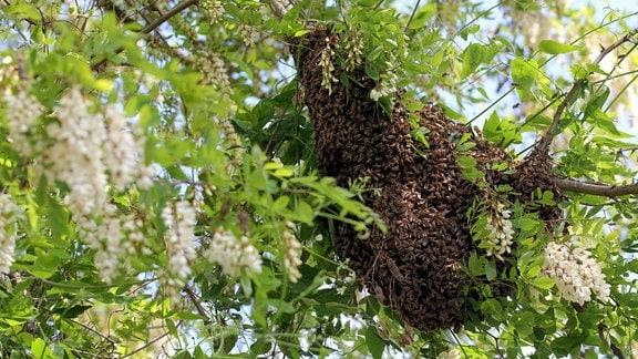 Bienenschwarm hängt als Traube in einer blühenden Robinie.