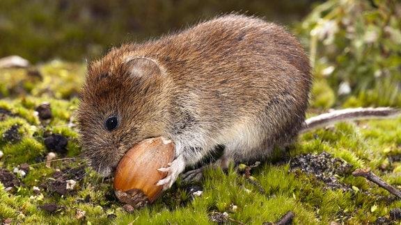 Rötelmaus, auf Waldboden sitzend, eine Nuss fressend.