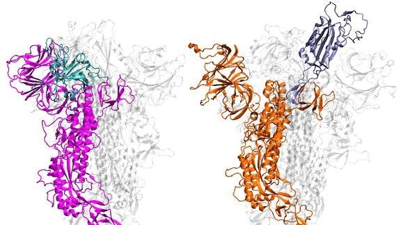 Darstellung der Molekülstruktur der beiden Spikeproteine von Sars-1 und Sars-2. Das aktuelle Coronavirus (rechts in organge) hat eine spezielle Bindungsdomäne, die sich besonder stabilisieren lässt (in dunkellila).