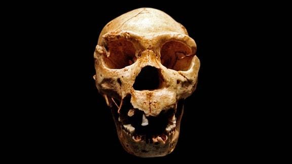 Schädel des Homo heidelbergensis