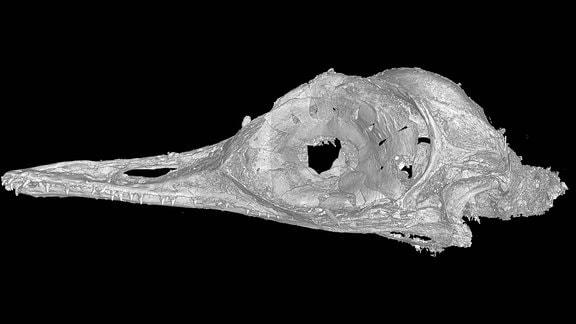 Schädel Urkolibri - kleinster Flugsauerie