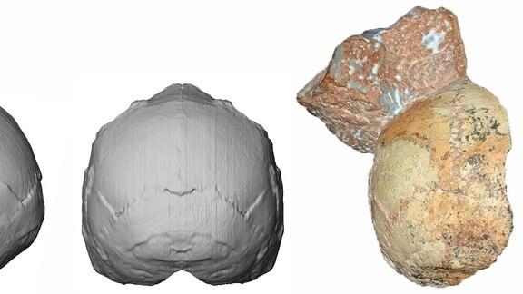 Ein Foto des Fossils Apidima 1 und danaben zwei Computergrafiken, die die Schädeldecke rekonstruiert zeigen