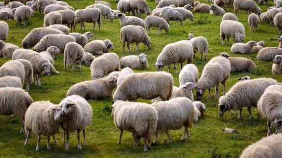 im Bild eine Schafherde auf den Poller Wiesen.
