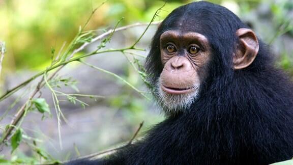 Ein wildlebender Schimpanse