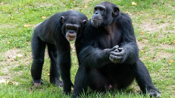 Zwei Schimpansen – einer sitzt auf der Wiese, ein anderer steht auf vier Beinen daneben