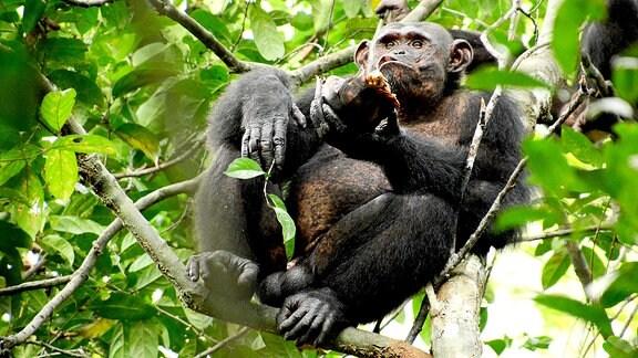 Ein Schimpanse hockt auf einem Ast und frisst eine Schildkröte.