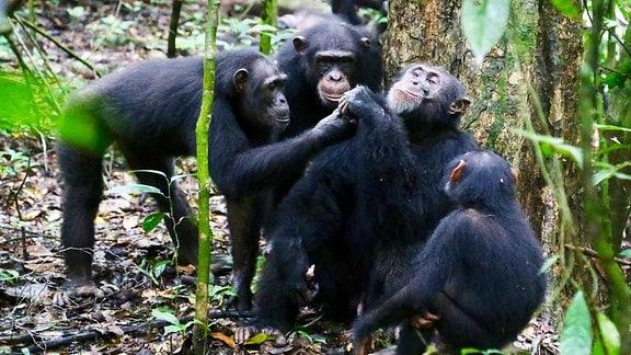 Mehrere Schimpansen