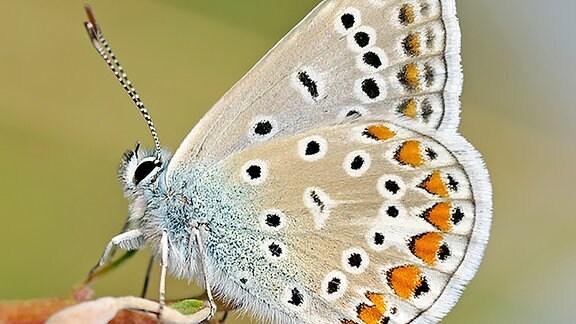 Schmetterling mit blauem Rumpf und ockergelben Flügeln im Ruhezustand, die mit einem blau-orangenen Muster verziert sind.
