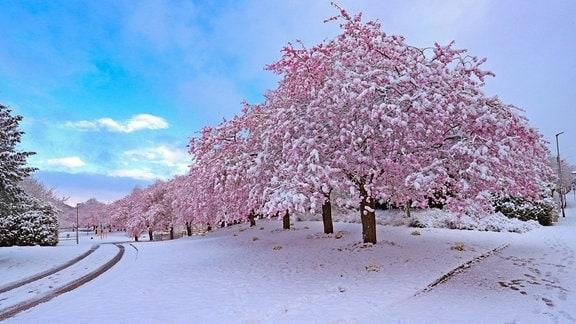 Von Schnee bedeckte Kirschblüten im Siegerland