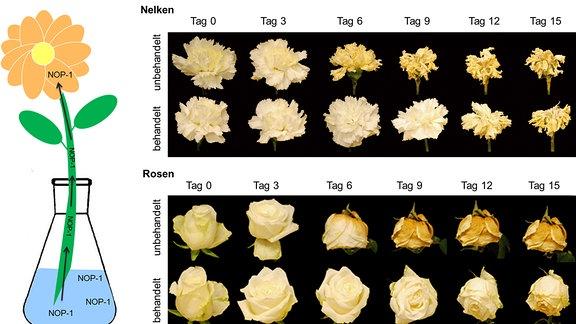 Grafik zu welkenden Schnittblumen