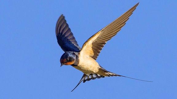 fliegende Schwalbe