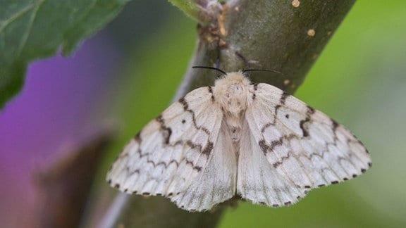 Heller Falter bzw. Schmetterling mit Streifen: Ein Insekt mitgroßflächigen  Flügeln und zwei Fühlern, das auf einem Zweig sitzt, Hintergrund unscharf.
